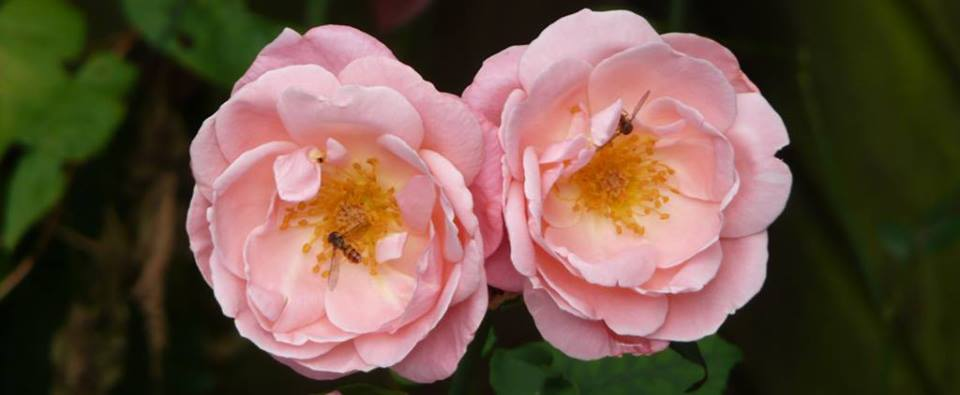 rose bees