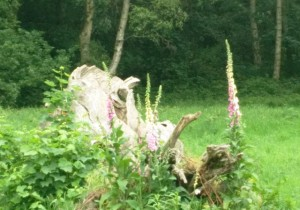 fox glove hampstead heath