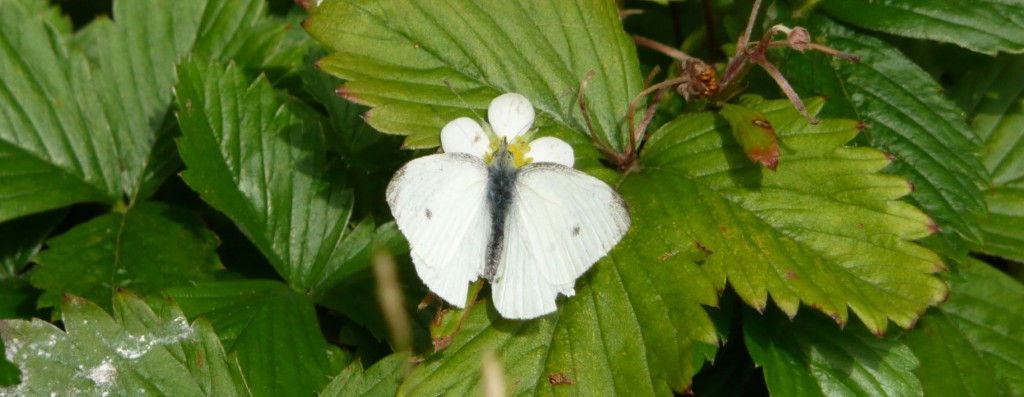 white butterfly open wings